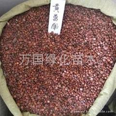 黃菖蒲種子