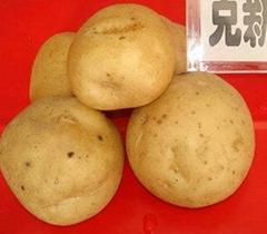 土豆种子克新一号