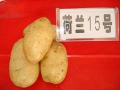 脱毒马铃薯种子荷兰15