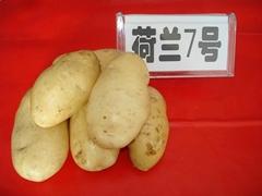 马铃薯种子的种植生产基地