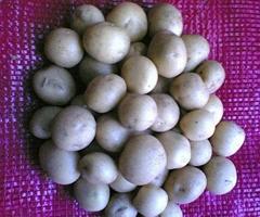 土豆种子行情
