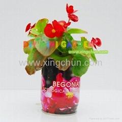 Novelty DIY mini plants garden--begonia