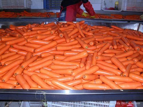 2012中国新鲜胡萝卜 FRESH CARROT 1