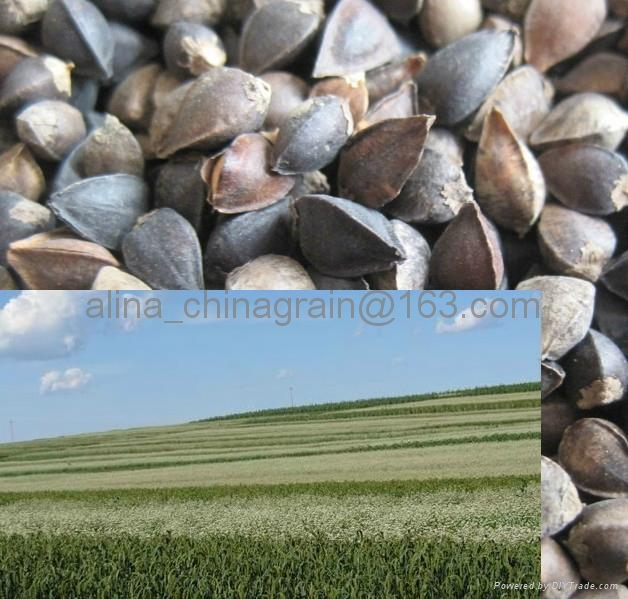 hulled buckwheat kernels  factory 2012 new crop  5