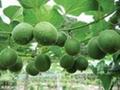 Fructus Momordicae Extract