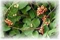 Schisandra Chinensis P.E