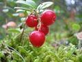 Bilberry P.E.25%