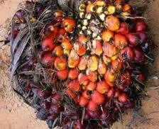 Natural Cheap Palm Kernel From Africa