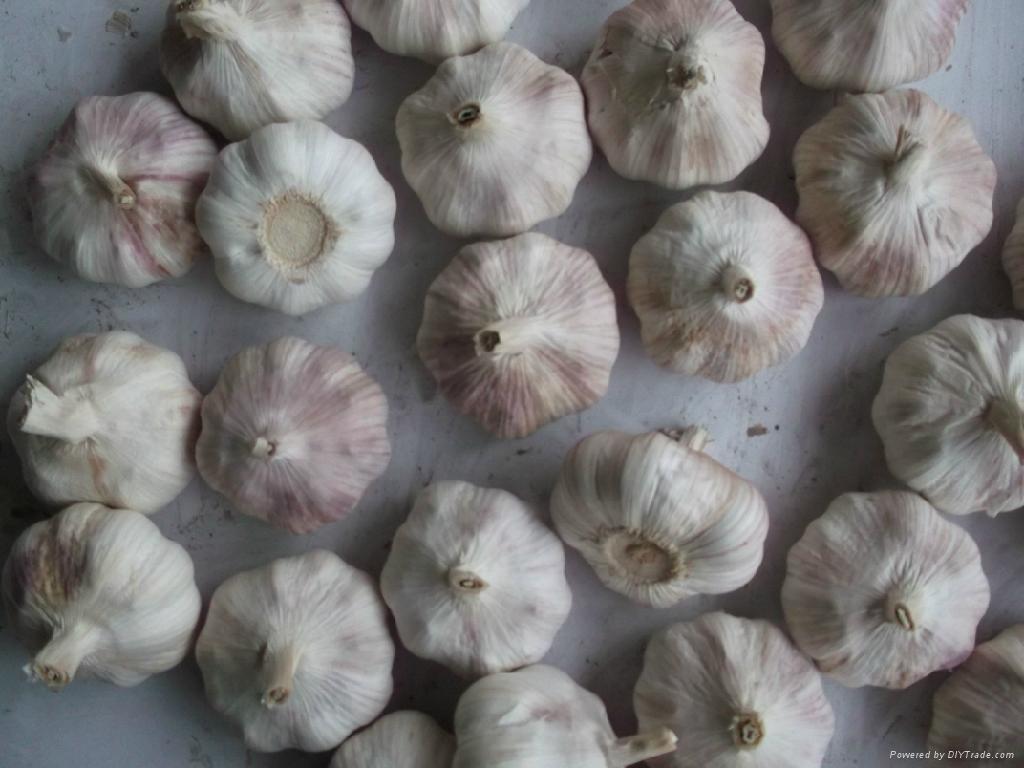fresh red garlic 1