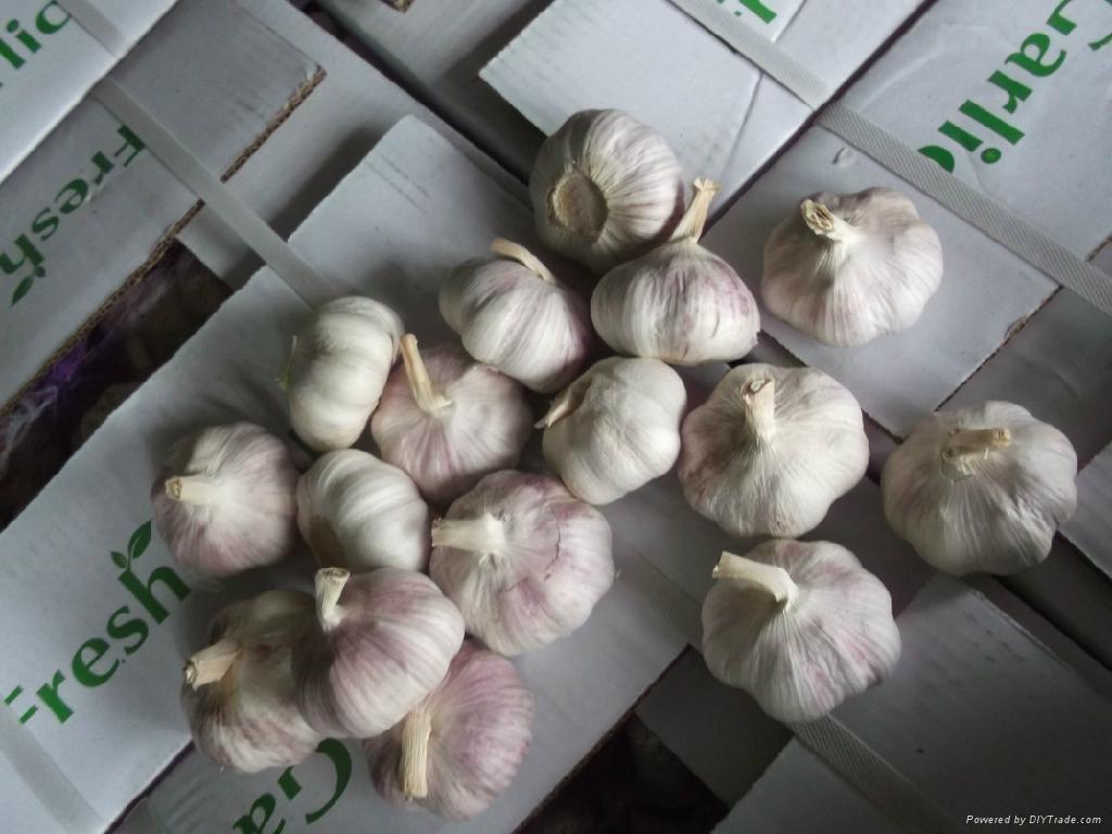 fresh red garlic 2