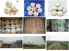 liancheng garlic