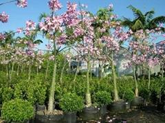 Chorisia speciosa (silk floss tree) seeds