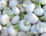 fresh pure white garlic 1