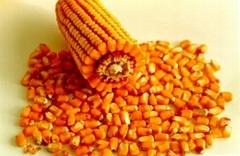 yellow corn(maize)