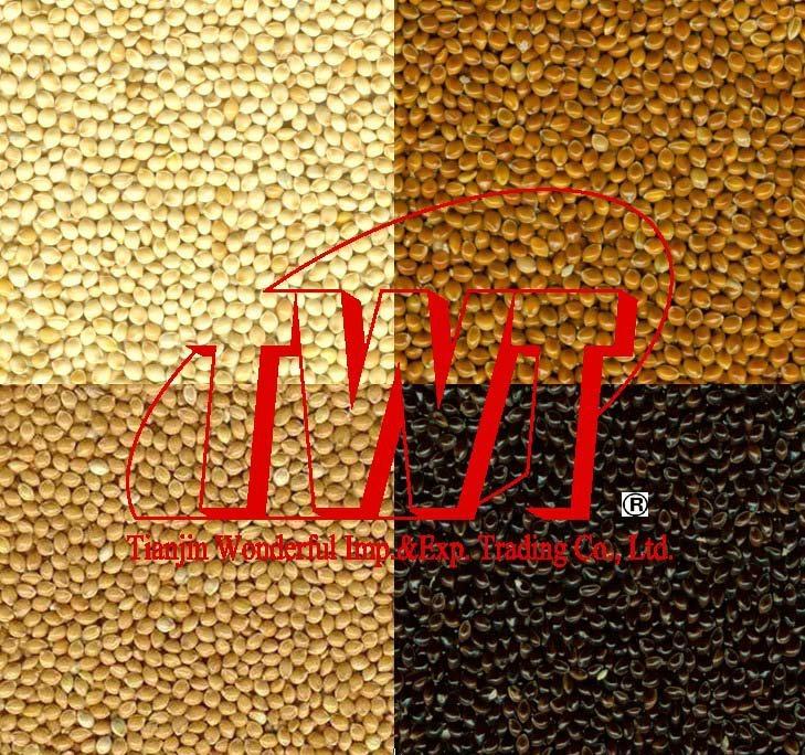 Broomcorn millet 1