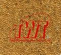 Broomcorn millet 5