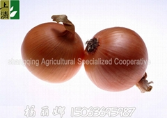 2012 new crop fresh onion