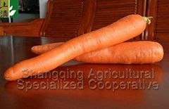 Chinese carrot exporter