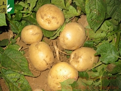 fresh potato new crop 2012