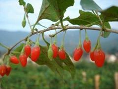 Barbury Wolfberry fruit P.E.