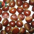 roasted chestnut in shell
