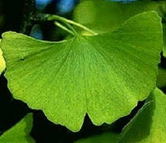 the biggest producer of Ginkgo Biloba Extract in China