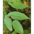 the biggest producer of Epimedium Herb