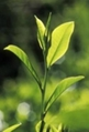 the biggest producer of Green Tea Extract in China 1