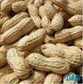 fresh peanut kernels 2