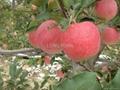 Huaniu Apple