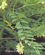 Sophora alkaloids tannate