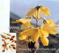 Forsythia extract 2