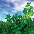 Goji Leaves 1