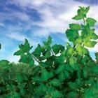 Goji Leaves