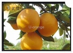 2012 Fresh navel orange