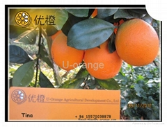 New Year's Gift Chinese Fresh Navel Oranges Fruit