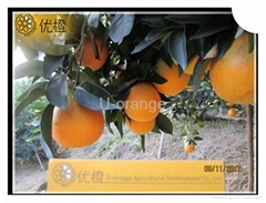 chinese citrus fruit navel orange