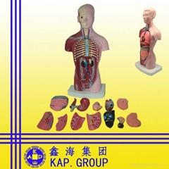medical anatomical human torso model