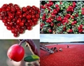 high quality and low price cranberry