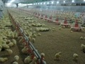 automatic poultry farming equipment