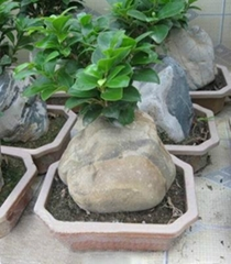 Ficus with Stone