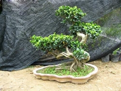 Aerial roots Ficus(Double Combination)