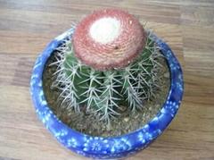 Melocactus Amoelnus