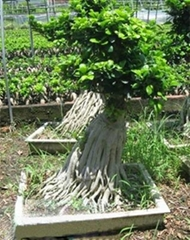 multirooted ficus