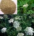 40%-98% Common Cnidium Fruit plant