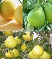 90%-98% Naringin plant extract