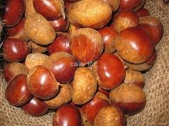 New chestnut