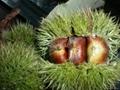 New chestnut 2