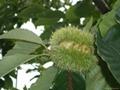 Fresh chestnut 2