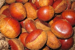fresh chestnut